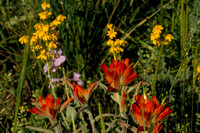 INDIAN PAINTBRUSH AND GOLDEN BANNER