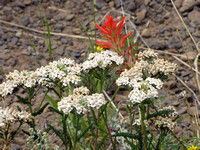 INDIAN PAINTBRUSH AND YARROW_2697