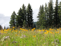 MEADOW WITH SNEEZEWEED_